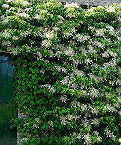 Klätterhortensia | Träd & buskar | Bakker Holland