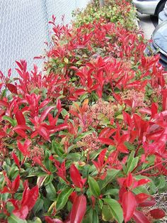 The 2 Minute Gardener: Photo - Fraser's Photinia (Photinia x fraseri)