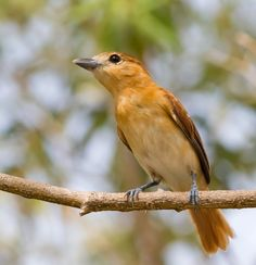 Caneleiro-cinzento (Pachyramphus rufus)