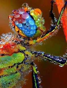 Dragonfly Covered In Morning Dew