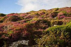 Lower Sky Road, Country Galway, Ireland. Yellow Gorse and Bell Heather