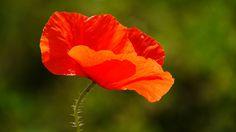 Mohn, Blume, Rot
