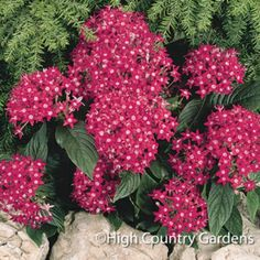 Penta are one of the very best annual flowers for attracting a butterflies and hummingbirds to your beds and containers. Ours have excellent hybrid vigor with clusters of tubular flowers covering the plants all summer. Penta are sun lovers that shrug off Sun Plants, Garden Plants, Outdoor Plants, Outdoor Gardens, Plants That Attract Butterflies, High Country Gardens, Hummingbird Garden, Annual Flowers, Container Flowers