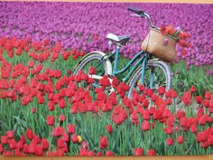Old bicycle in colorful tulips field Old Bicycle, Tulip Fields, Tulips, Landscape, Wall Art, Garden, Plants, Photography, Postcards