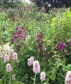 The garden at Rose Cottage - Persicaria, Sanguisorba and Verbascum 'Voiletta' - from McQueGardens.com