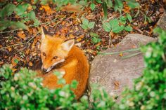 Where do foxes live? Foxes live in many diverse regions around the world including North America, Asia, Great Britian and Russia to name a few. Living In Mexico, Living In New Zealand, Arctic Tundra, Arctic Fox, States In America, North America, Tibetan Fox, Fox Information, Fox Species