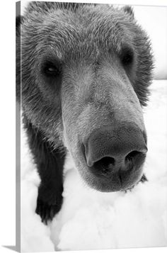 Extreme close up of brown bear at the Alaska Wildlife Conservation Center