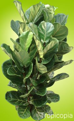 read about spider mites on the ficus lyrata plant here indoor leaf figplant - Fiddle Leaf Fig Tree Care