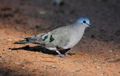 Emerald-spotted Wood-Dove (Turtur chalcospilos) Ian n. White