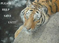 HELP SAVE THE LAST 3,200 WILD TIGERS!  GOAL = 500,000 signatures to be delivered to the Chinese Embassy in London in October ahead of the CITES meeting in 2016!  By signing the BanTigerTrade petition you will help protect wild tigers by calling for an END to policies and practices that stimulate demand for tiger parts and products, and thus stimulate poaching.  PLEASE SIGN & SHARE LIKE A WILD FIRE! Thank you!