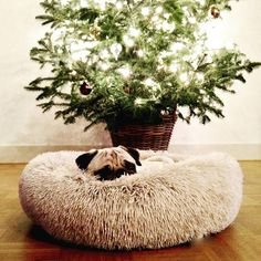 Clever pug...Bertje wanted to sleep by the Christmas tree, so he, yes he, pulled the bed there! #Pug