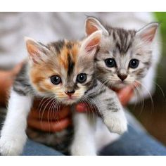 Cute Cats and Little Kittens Kittens And Puppies, Baby Kittens, Little Kittens, Cute Cats And Kittens, I Love Cats, Crazy Cats, Kittens Cutest, Fluffy Kittens, Kittens Playing