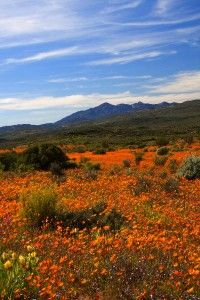 Wildflowers in Cape Town  http://www.travelandtransitions.com/destinations/destination-advice/africa/cape-town-travel-things-todo/
