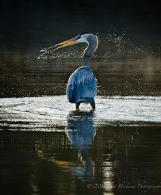 'GBH head shake' by Art Holland Photography ~ A Great Blue Heron after a failed dinner-strike in the water