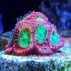 Yea so grow this awesomeness from @thecoraldon out!  #polyplab . . . . #coral #reeftank #coralreeftank #reef #reefpack #reef2reef #reefcandy #reefersdaily #reefrEVOLution #coralreef #coraladdict #reefaholiks #reefjunkie #reeflife #instareef  #allmymoneygoestocoral #instareef  #reefpackworldwide #ilovemyreef #rarecorals #reefing #exoticcorals #reefporn #reeferdise #reefers4reefers #coralporn #aquarium #polyplab