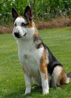 """A """"Panda German Shepherd"""" whose coloration is the result of piebaldism, a mutation."""