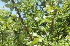Winged Elm (Ulmus alata).