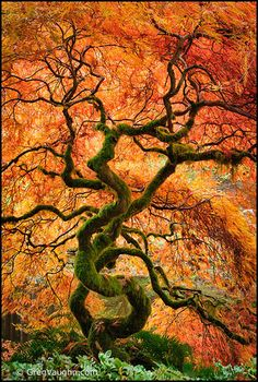 Laceleaf maple tree with leaves in fall color at Bloedel Reserve. By Greg Vaughn