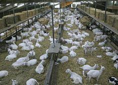 Milk goats - Van der Ploeg International