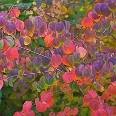 Laubfärbung des Lebkuchenbaums