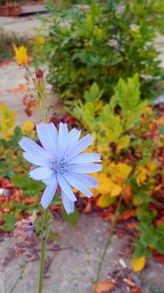 #flower #autumn #fall #blue #nature