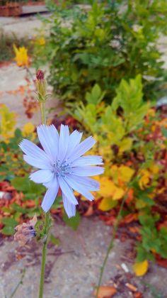 #flower #autumn #fall #blue #nature