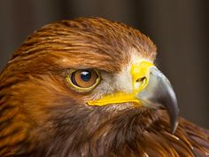 The great birds type. Lets known about all types of eagles species in the world Eagle Wallpaper, R Wallpaper, Nature Wallpaper, Eagle Eye, Bald Eagle, Cane Corso, Sphynx, Chinchilla, Astrology