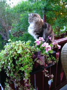 Watching over the garden This could be a photo of our cat Smokey. She was beautiful and lived to be nineteen. RIP Smokey