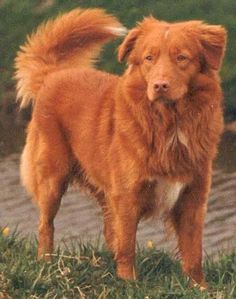 nova scotia duck tolling retriever - Google Search [ yep that's the name...Toller for short. Huh! kd]