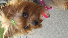 """Yorkie says....""""un-huh, yeah, go ahead, take another @%&$ picture and see what happens to....go ahead..."""""""