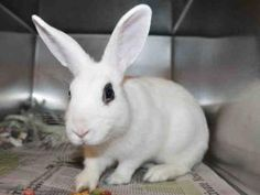 A723387 is an adoptable medium adult male Bunny Rabbit.  Contra Costa County Animal Services Department, Martinez, CA  925-335-8330