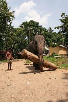 I saw working elephants everywhere in Sri Lanka. Pinnawela, Colombo, Sri Lanka