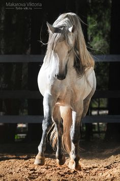 White Shire horse Gustav ********************* you can buy this photo on the Shutterstock! this horse for sale on the shutterstock - ********************* You may take this photo ONLY as a referenc...