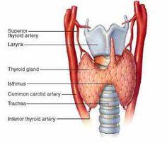 Herbs for the Thyroid