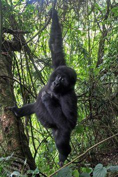 Gentle giants - wonderful mountain gorillas!