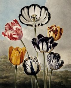 Tulipa gesneriana from Temple of Flora 1799 by Robert Thornton. Hand-coloured engraving. Thornton vowed that his book, Temple of Flora, would be the most magnificent botanical publication ever. Exotic plants were lavishly illustrated in dramatic landscape settings. The extravagant costs of publishing this sumptuous book ruined Thornton financially.