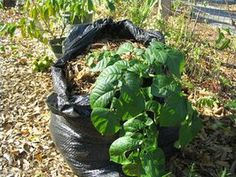 Grow Potatoes in a Garbage Bag
