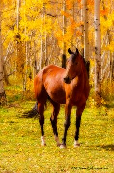 """Beautiful Autumn Horse: Beautiful Horse Photography - """"beautiful horse photography: Beautiful Autumn Horse Image by Striking Photography by Bo Insogna Beautiful horse posing with the aspen fall foliage. A slight orton Effect. james-in All The Pretty Horses, Beautiful Horses, Animals Beautiful, Cute Animals, My Horse, Horse Love, Horse Riding, Chestnut Horse, Majestic Horse"""