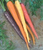 Red Cored Chantenay Carrots - a sweet, tender variety, ready to harvest in 70 short days. (Heirloom)
