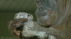 Touching moment orangutan cradles her newborn infant after camera ...