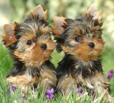 They look so much like Milo & Toby when they were puppies!  Brotherly love #yorkielove