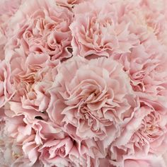 With soft and delicate features and long lasting longevity, carnations are a perfect fit to add into your dream bridal bouquet. Birth Flowers, All Flowers, Spring Flowers, White Flowers, Beautiful Flowers, Carnation Colors, Pink Carnations, Painting The Roses Red, Pink And White Weddings