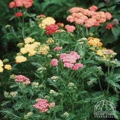 Achillea millefolium 'Colorado' mixture
