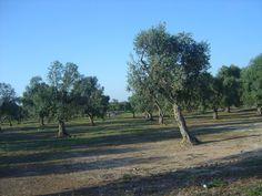 Olive trees - on the road to Torre Canne