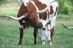 Bayou Leigh and her new bull calf. Longhorn Cattle, Longhorn Cow, Cow Pictures, Animal Pictures, Zebras, Female Cow, Raising Cattle, Bull Painting, Mini Cows