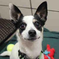 Fort Wayne Indiana Chihuahua Meet Gunner A For Adoption