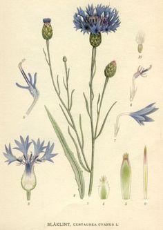 Cornflower (Centaurea cyanus) between 1917 and 1926 by Carl Axel Magnus Lindman (1856–1928).   http://runeberg.org/nordflor/7.html Wikimedia.