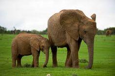 Αποτέλεσμα εικόνας για ελεφαντες