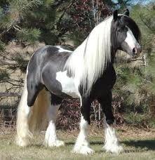 Clydesdale Horse margaretpapp