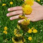 Herbs for Depression and Anger - Aromatherapy 4 Mom Dandelion Oil, Dandelion Flower, Dandelion Benefits, Solar System Crafts, Signs Of Anxiety, Summer Solstice, Warts, Evening Meals, Natural Medicine